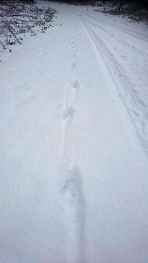Vargspår i snö.