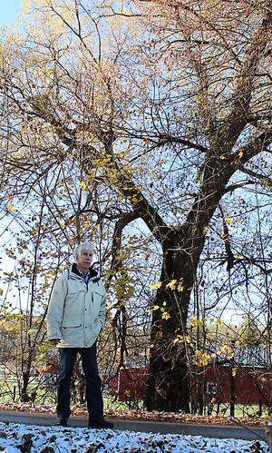 Det här pilträdet i herrgårdsallén i Kolsva fick Lasse Malm plantera 1945 som tioåring till minne av freden.