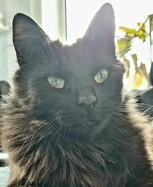 273) Detta är min katt Lakritstrollet som jag adopterade från Djurskyddet Bill och Bull 2017. Han var då nästan 2 år gammal och en skyggis, men nu är han en trygg och härlig herre. Foto: Helena Hansdotter