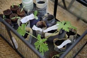 Ett litet miniväxthus rymmer dotterns odlingsprojekt, och är dessutom dekorativt att titta på.Foto: Jessica Gow / TT
