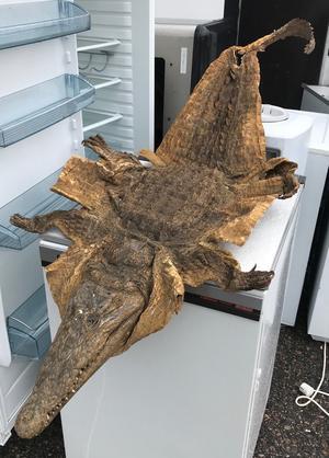 Krokodilskinnet som lämnades in på Atleverket.  BILD: ULRIKA LINDER