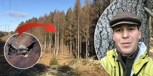 Granbarkborren gillar solvarm bark. I vår ska så kallat fångstvirke läggas ut på kommunens mark, berättar Peter Svedberg, markförvaltare på Nynäshamns kommun. Foto: Privat