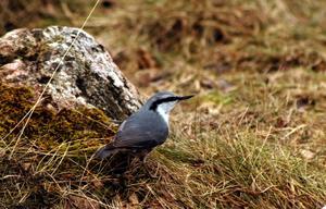 Nötväckan som vanligtvis kryper på träd ses här på marken i jakt på föda.  Foto: Hasse Holmberg