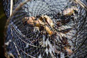 Hemma i Stigbjörns by har det fiskats kräftor. Med rätt sval entusiasm från somliga. Foto: TT