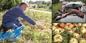Anders Wiklund plockar upp äpplen efter någon som dumpat frukten efter vägkanten. Så nära trafiken innebär frukten en risk för viltolyckor, betonar Anders Wiklund, jägare och ansvarig för Falu viltförvaltning. Foto: Karin Sundin, Tore Sannum, TT.