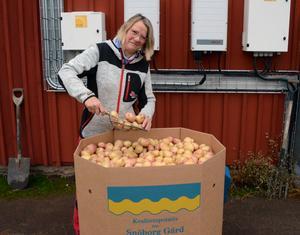 Ann Eriksson, potatisodlare, konstaterar att årets skörd verkar bli normal och därmed kommer det även att bli ett normalt pris på potatisen till kunderna.