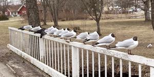 En samling orädda fåglar i Sala stadspark vann Månadens bild i april. Foto: Carina Willén