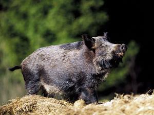 Om man stöter på ett vildsvin i skogen ska man inte stå till eller gömma sig.