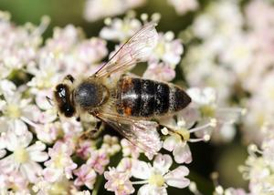 Ett bi, en av de viktiga pollinerarna. Foto: Lars Pehrson/TT