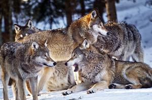 Vargarna på bilden är från Järvzoo i Hälsingland. Bild: TT