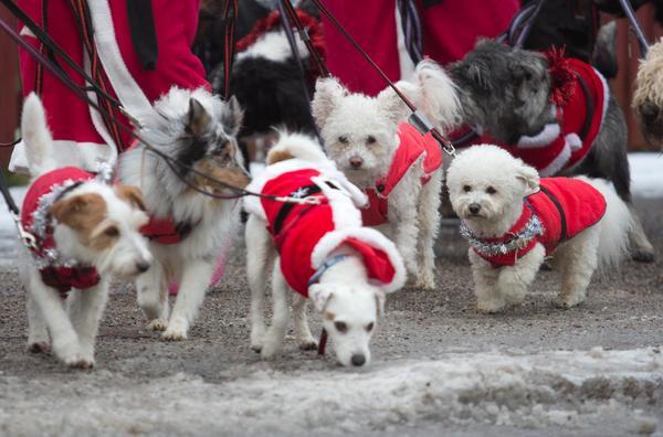 Många gångstilar var representerade i hundarnas luciatåg.