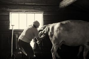 Kalvning i sommarfjöset. Foto: Kristofer Hallberg