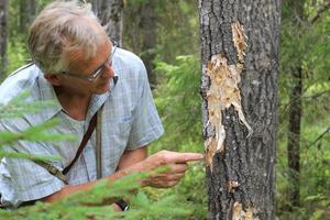 Bild: Erica Lintrup Bengt Oldhammer hittar spår som kan vara från vitryggig hackspett. Bilderna är skickade till en expert så Naturskyddsföreningen inväntar svar.