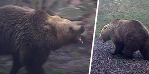 Bilden är från ett slagsmål mellan två björnar i en djurpark och har ingenting med innehållet i artikeln att göra. Foto: Fritz Schibli / TT