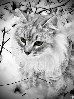 Här är världens snällaste Nacho! Sibirisk kattgrabb som fyller 1 år dagen innan nyår. Han hänger med på allt och älskar livet. Hans specialitet är att hitta lediga händer att kela med och riva sönder toarullar. Han älskar att äta, speciellt räkor och ostkrokar. /Matten Wilma 6 år. Bild: Sandra Ström