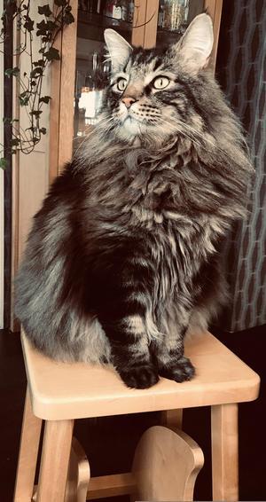 Det här är Misse, 10 år, en underbar familjemedlem på 10 kilo. Älskar att vara inne och mysa och sitter endast på farstukvisten om han nu tvingas gå ut. Tror nog själv att han är en hund då han både apporterar och förstår vad vi säger. Världens snällaste katt, stor men ändå jätterädd för sotaren. Bild: Cornelia Smångs