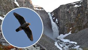 På fredagseftermiddagen hittades en död jaktfalk vid vattenfallet Njupeskär i Älvdalens kommun. Falken ska nu undersökas.