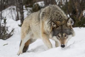 Sverige var under många år förskonade från att ha djuret varg men nu är den tillbaka och personligen tror jag att det absolut dummaste vi människor kan göra, är att inte lära oss av historien, skriver insändaren.