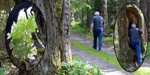 Det stora inslaget av gamla, grova och döende aspar bidrar till att göra skogen i Vålbergsreservatet speciell.