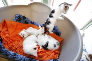 Kattungarna lämnades in till Gästrike katthem i onsdags.