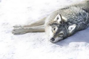 I MUF:s värld är det skjutna vargar som ska öka acceptansen för rovdjursförvaltningen och inte samhällets omfattande insatser för förebyggande åtgärder inom tamdjursnäringen, skriver Anders Ekholm.