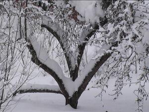 Detta är en bild på vårt gamla äppelträd som är format som ett hjärta.