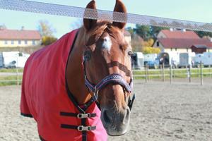 En häst som inte volnut innan hoppar.
