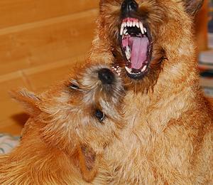 Ständig kamp mellan dessa hundar. Den ena är andras valp.