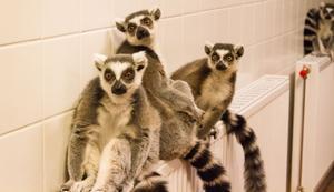 Lemurerna kommer från Madagaskar. De älskar värme och håller gärna till ovanpå elementen. De är kända för att vara djur som älskar att sola. Då står de i solskenet, blundar och breder ut armarna. Lemurerna i Kungsbyn har ett utehägn som de når via en lucka. Föra veckan när det var sju grader varmt gick de ut en stund.