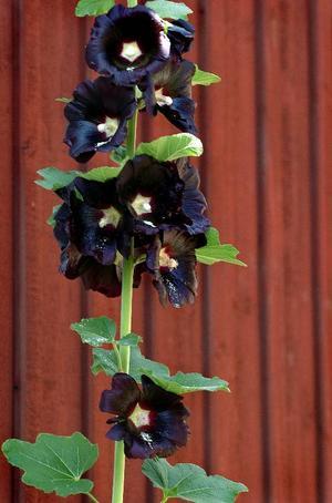 Stockros. Den svarta stockrosen är en tvåårig skönhet som snabbt blir 3-4 meter hög även i våra trakter. Stockrosor förknippas annars med den södra landsdelen, men även de blir allt härdigare till glädje för alla rosälskare här.