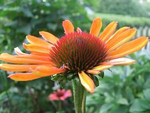 Jag verkligen älskar att fota i min trädgård och nu på hösten är alla solhattar helt underbara med sina fantastiskt lysande färger