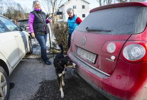 Border Collien Ada letar doftmarkören när hon tränar fordonssök med matte Ann Nygård.