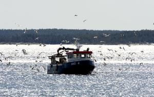Med de skrikande fiskmåsarna flaxande kring båten glider den in i Bondhamn med årets första stora fångst av havets silver.