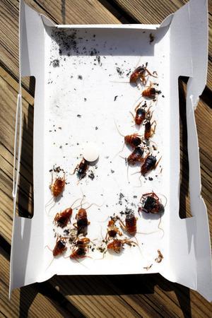 FÄLLA. Kackerlackor som hamnat i klistret.