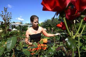Prakt. Åsa Hansson ansar rosor.