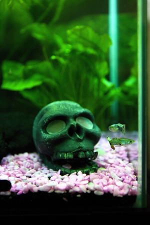Matchat. Fiskarna har sällskap av rocksymbolen dödskalle och rosa stenar i akvariets mjuka grönska.