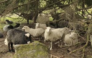 Nyttiga. Fåren på Östjädra gård ger kött, ull och skinn till försäljning.Foto: Erik Hjärtberg