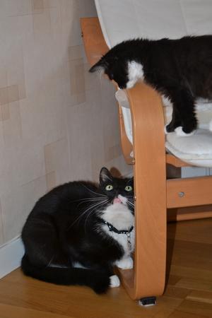 Vår stora katt Knoxville är mindre förtjust i vår kattunge Myran och håller henne kort. Dock kan man undra vem som bestämmer på den här bilden ?