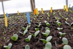 På Gustafsäng sår man mycket för att kunna sälja både plantor och färdiga grönsaker. Men för de flesta av oss räcker det med några få av varje sort. Vill man ha mer är det i så fall bättre att så i omgångar så att man har grönsaker – exempelvis sallat – hela säsongen.