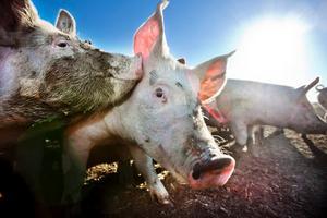 Nyfikna som få. På Högsta gård lever grisarna ute året om, i stora hagar. De undersöker allt, bökar överallt och får bete sig som grisar.