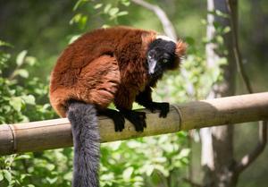 I lemurhägnet bor bland annat arten röd vari.