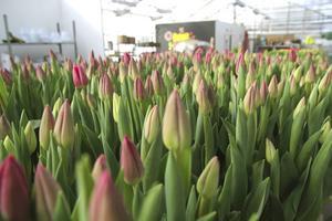 Tulpaner i tusental ställs fram och plockas hem av kunder.