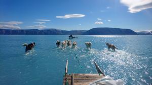 Slädhundar springer i smältvatten på nordvästra Grönland. Foto: Steffen M. Olsen via AP