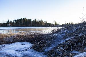 Längs Framnäsvägens älvkant har bävern byggt sin hydda. En normalstora bäverhydda kan bli en till två meter hög, två till fyra meter bred och åtta till tio meter lång.