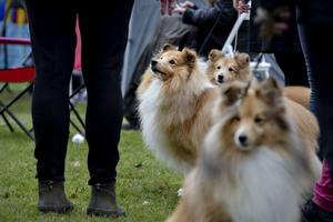 Corgi, Shetland sheepdog, Dalmatiner, olika terrier, massor av hundraser samlades i Högbo i helgen.