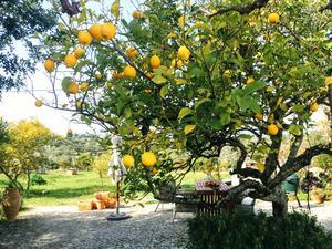 Ett av trädgårdens citronträd. Foto: Maud Frykberg