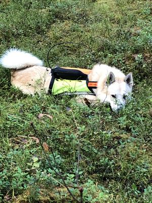 När en trött Zack kommer till matte på pass och vilar en stund efter några mil i skogen. Foto: Birgitta Eriksson