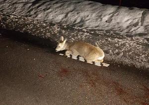 Foto: Anders Wiklund.ett påkört rådjur längs vägen mellan Falun och Svärdsjö. Tre av fyra ben var avkörda och eftersöksjägare fick kallas till platsen för avlivning av det svårt skadade djuret.