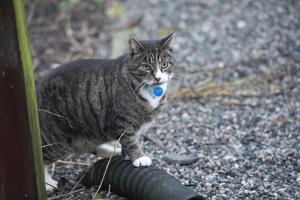 Det är populär med katter som husdjur. Utekatter i stan ställer dock till problem för dem som inte vill ha dem i sina trädgårdar. Foto: Fredrik SandBerg/TT