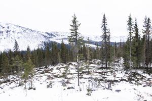 Fjällnära skog i Bydalen.